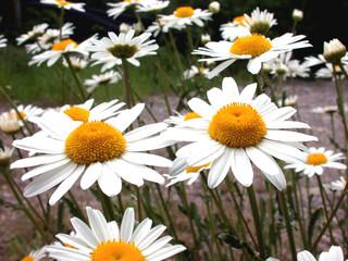 daisy view