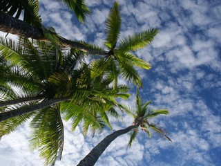 palmtrees and sky from below near punta banco
