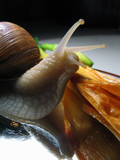 still-life with a snail poster