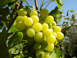ripe grapes, vine, vineyard poster