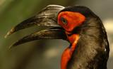 ground hornbill (bucorvus leadbeateri) poster