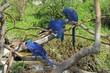 hyacinth macaw & friends