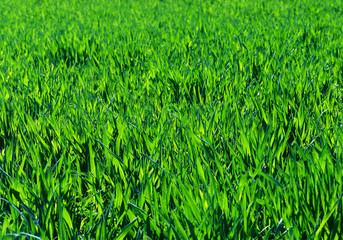 blé vert.