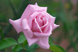 perfect pink rose poster