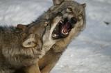 Fototapeta futro - polowanie - Dziki Ssak