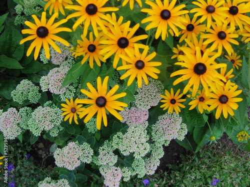 black eyed susan flower mix