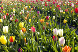 tulipes multicolores poster