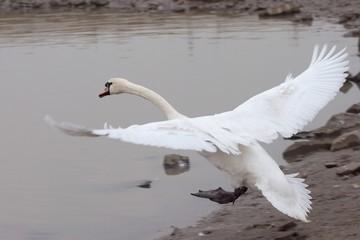 landender schwan