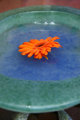 orange flower in dish of water