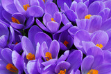 purple crocus - Fine Art prints