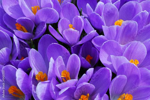 Deurstickers Krokussen purple crocus