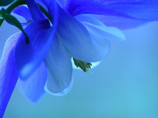 blue spring flower