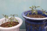 tomato plants poster
