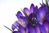 Fototapete Blume - Blüten - Blume
