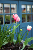 tulips in a yard poster