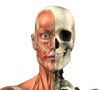 male head - skull & muscles poster