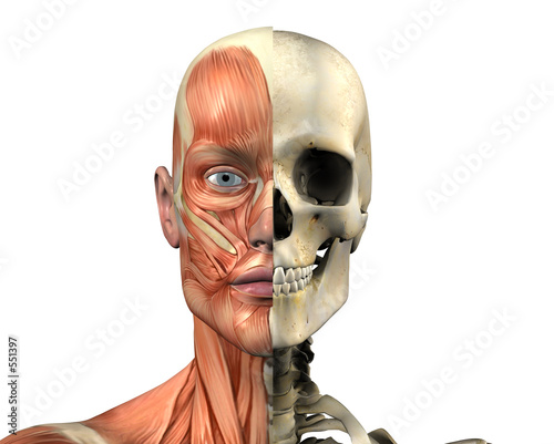 male head - skull & muscles