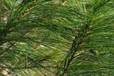 white pine needles poster