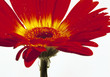 """red flower (16.5 x 11.5"""" image)"""