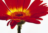 red flower (16.5 x 11.5