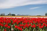 tulips skagit valley poster