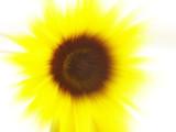 sunflower blur poster