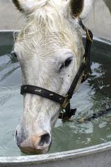 le cheval qui boit