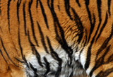 sample of a tiger poster