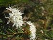 bog flower