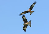 red kite eagles flying together poster