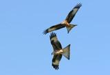 red kite eagles flying together poster