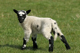 speckled lamb poster