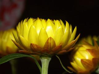 des fleurs immortelles