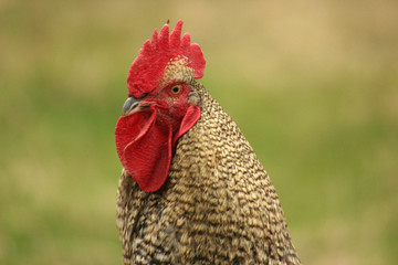 close portrait of a cock on a field