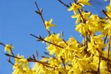 spring bloom forsythia poster