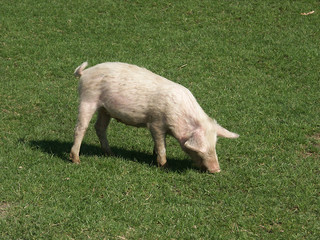 yangest pig on the grass