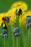 bee and dandelions poster