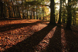 Fototapety forest in autumn