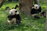 giant pandas feeding poster
