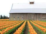 barn tulips poster