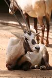 arabian oryx poster