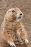 prairie dog standing poster