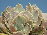 plante aeonium poster