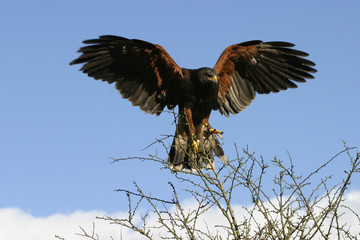 harris hawk alighting on branch