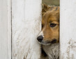 roleta: a dog looking through a fence