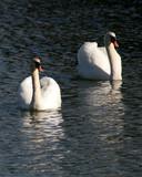 swan pair poster
