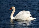 single swan poster
