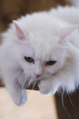 white cat look