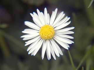 single meadow flower