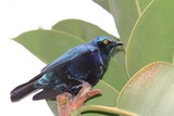 blue-eared glossy-starling poster